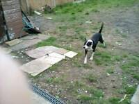 Beautiful Black and White American Bulldog X Staffordshire Bull Terrier