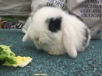 Baby mini lop rabbits for sale. Super friendly.