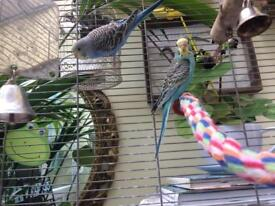 Pair Budgie with Cage