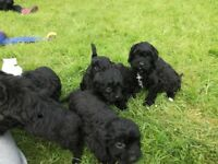 Beautiful cavapoo pups