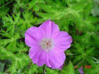 3 x7cm garden plants HARDY Geranium Orientalitibeticum all proceeds to hedgehog charity