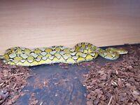 CB15 Female Platinum Het Albino Reticulated Python