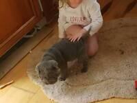 Sharpei boy pup kc forsale