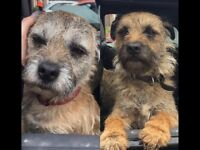 Missing since 1/06/17 - 2 Border Terrier dogs, mother & son - Telford Area