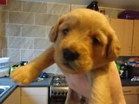F1 miniature Labradoodle puppies