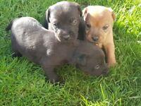 Patterdale x lakeland terrier puppies