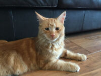 Found, Male, Ginger, Approx. 1 year old, Not Neutered,