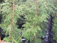 Leylandii 4ft 5ft 6ft 7ft 8ft[home grown] hedging plants Green 10LT Pot Good Quality see details