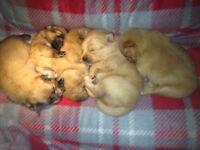 5 Beautiful Cream Pomeranian Litter for sale