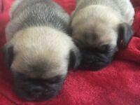 Pug x French Bulldog (frug) puppies