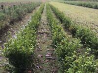 GRISELINIA HEDGING PLANTS. 36/39 ins £8-99
