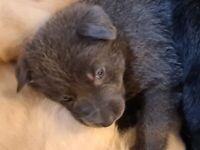 German Shepherd x German pointer puppies for sale