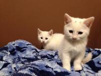 5 white kittens £100 ONO