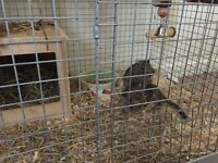 Two male degus. 2 years old. Including cage, sand tin and all you need