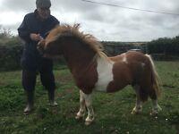 Shetland pony's free