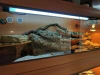 Eastern collored lizard and 4ft tank