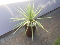 OUTDOOR PALM TREE AND LARGE POT ... Torquay ....