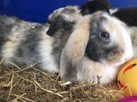 Minilop x bunny boy
