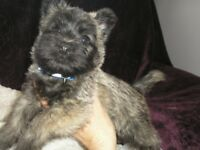 Cairn Terrier Pups Non Moulting Puppies