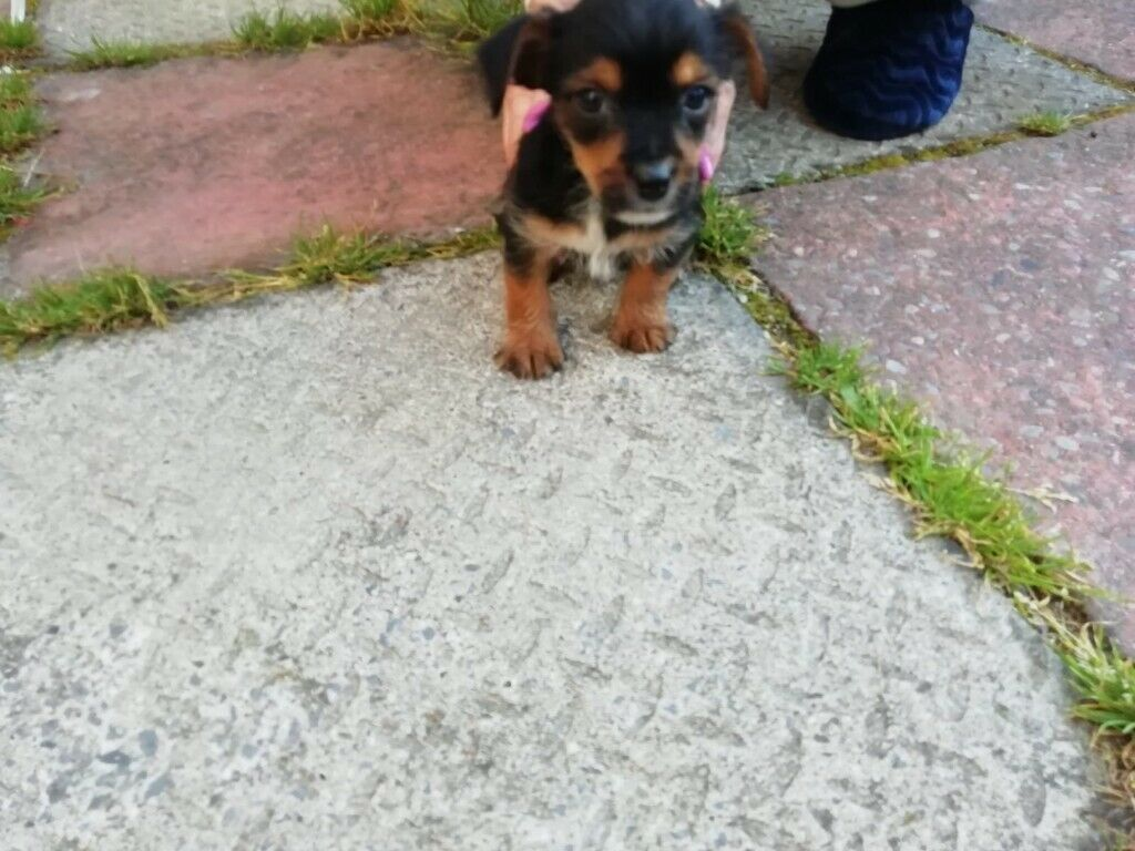Yorkshire terrier x shitzu for sale puppies for sale | in Hornchurch,  London | Gumtree