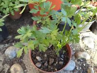 Chinese celery plants