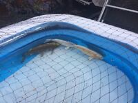 3 Large pond fish for sale