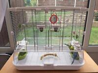 Bonded pair of budgies and cage