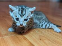 Bengal Kittens - Tica Registered