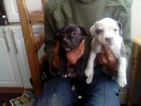 Staff puppies with blue gene ready now various prices