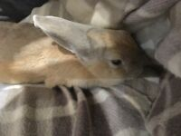 2 female rabbits, 8 months old, can be sold together or separately