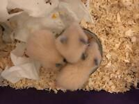 Syrian babies hamster