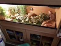 Bearded dragon and full set up.