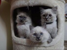 Siberian Neva Masquerade - kittens