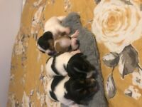 Stunning short legged Jack Russell puppies
