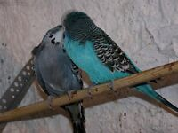 budgies for sale all adults all colours 15£ for males 20 for hens tell 01793976407