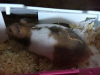 Last of Litter - Syrian hamster with hamster heaven cage