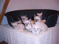 Gorgeous Siamese kittens for sale. GCCF registered and fully vaccinated. Ready 14th January