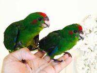 HandReared SillyTamed Split For Blue Baby Kakariki Parrots