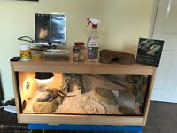 bearded dragon with full vivarium setup and accessories