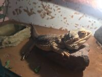 Bearded dragon & vivarium