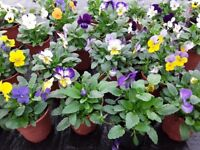 Flowers pansy & viola for Planters Hanging Baskets Gardens