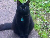 LOST BLACK MALE CAT IN B64 7NH, CRADLEY HEATH AREA