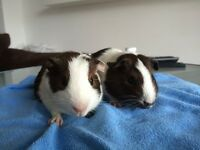 Pair of female guinea pigs for sale