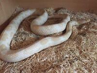 Snow corn snake (FOR SALE) £20