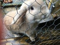 Male brown rabbit and hutch