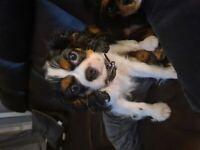caviler kings charles puppy
