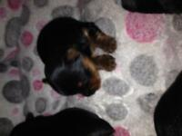 Very Small Yorkshire Terrier