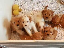 Toy Cavapoo puppies from health tested parents