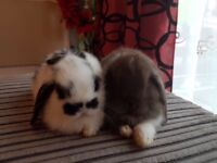 Rabbit baby for sale (male and female)