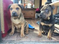 Rott pei American new breed puppy for sale